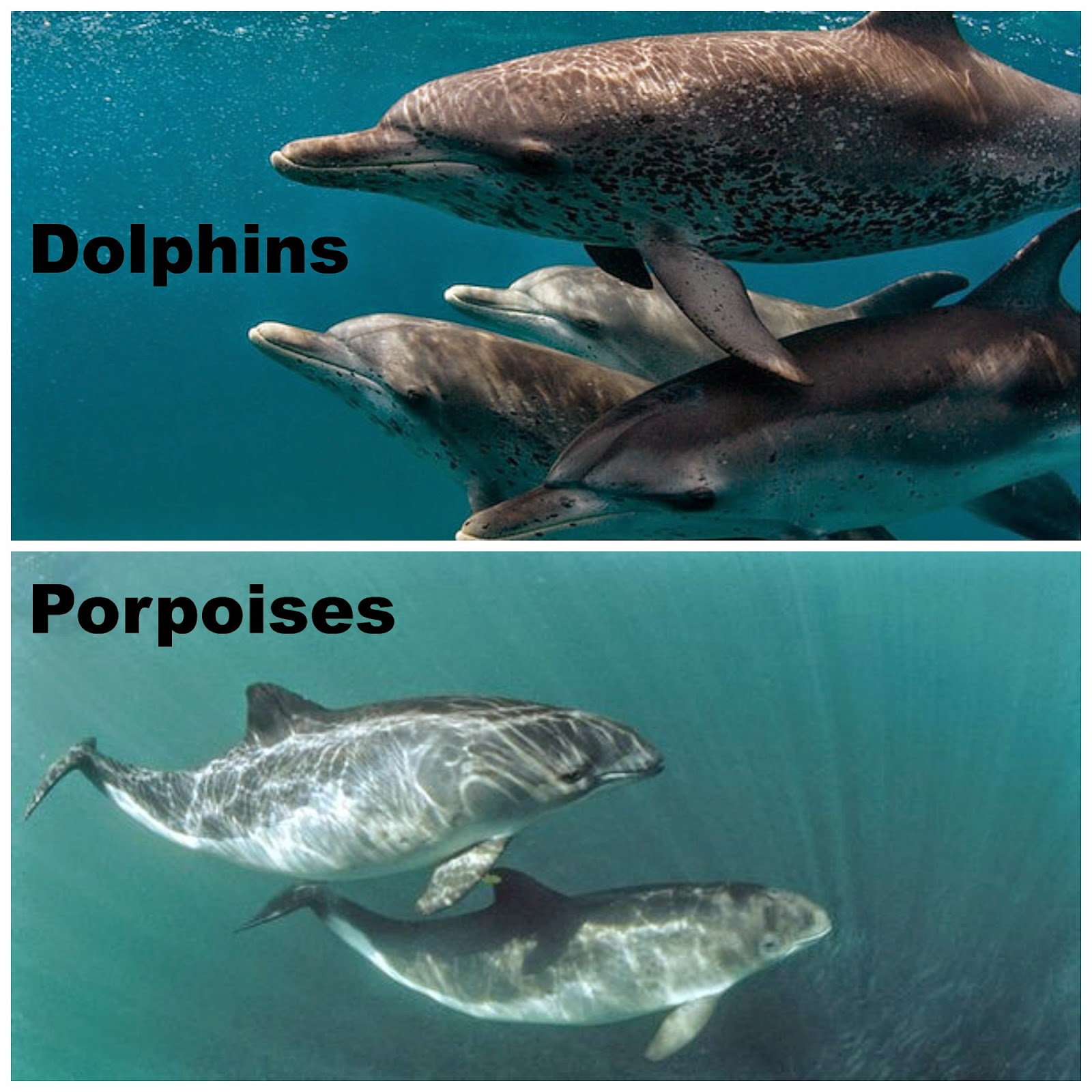 the diffrences between dolphins and porpoises While the physical differences between dolphins and porpoises can be subtle, the differences in the way they behave are more obvious dolphins live in large groups and show little fear of humans they are outgoing and will often interact with humans and even swim alongside boats.