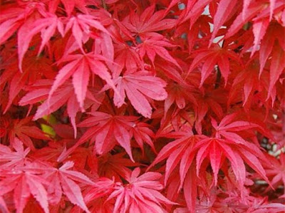 Acers are a wonderful addition to a garden