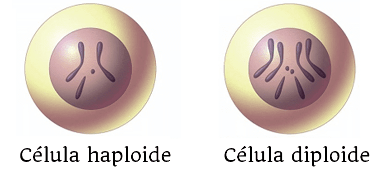 celula haploide diploide