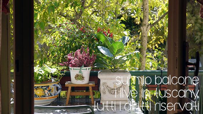 oggi sul mio balcone era primavera...peperoncini, erica e olivo splendidi sotto il sole