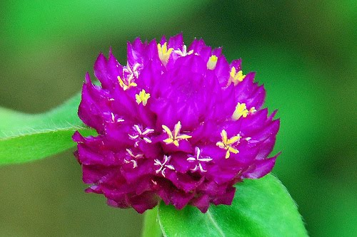 Beautiful flowers amaranth flowers pictures meanings the amaranth flower is considered one of the central symbols for immortality as its name which is derived from the greek language means unfading mightylinksfo