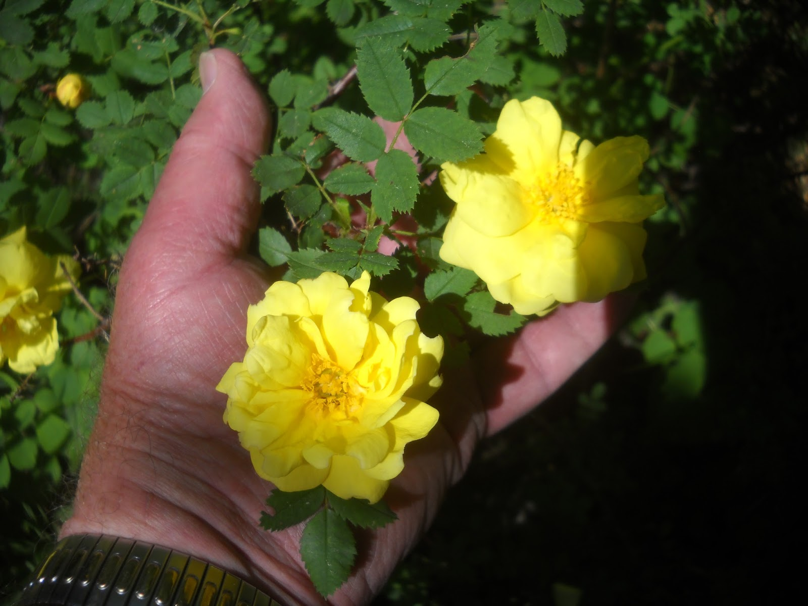 Arts Bayfield Almanac Harrisons Yellow Rose The Yellow Rose Of