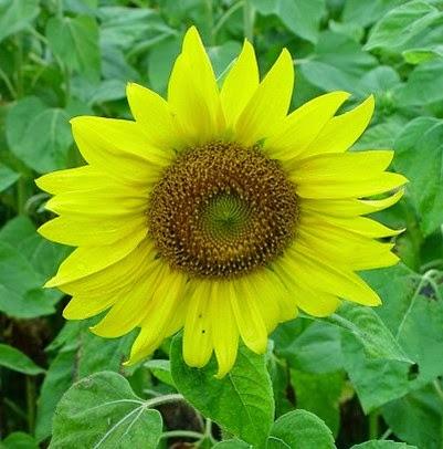Morfologi Tumbuhan Bunga Majemuk