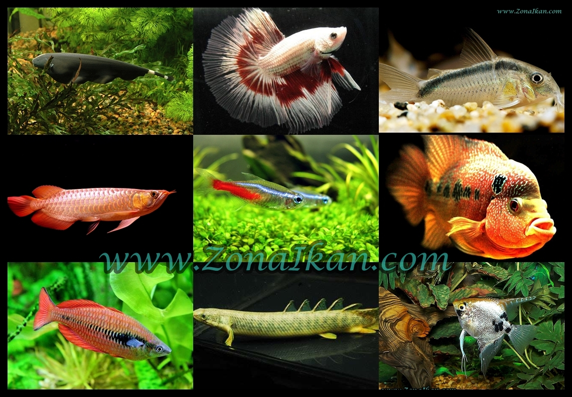 jenis jenis ikan hias air tawar bagi anda pencinta ikan hias air tawar