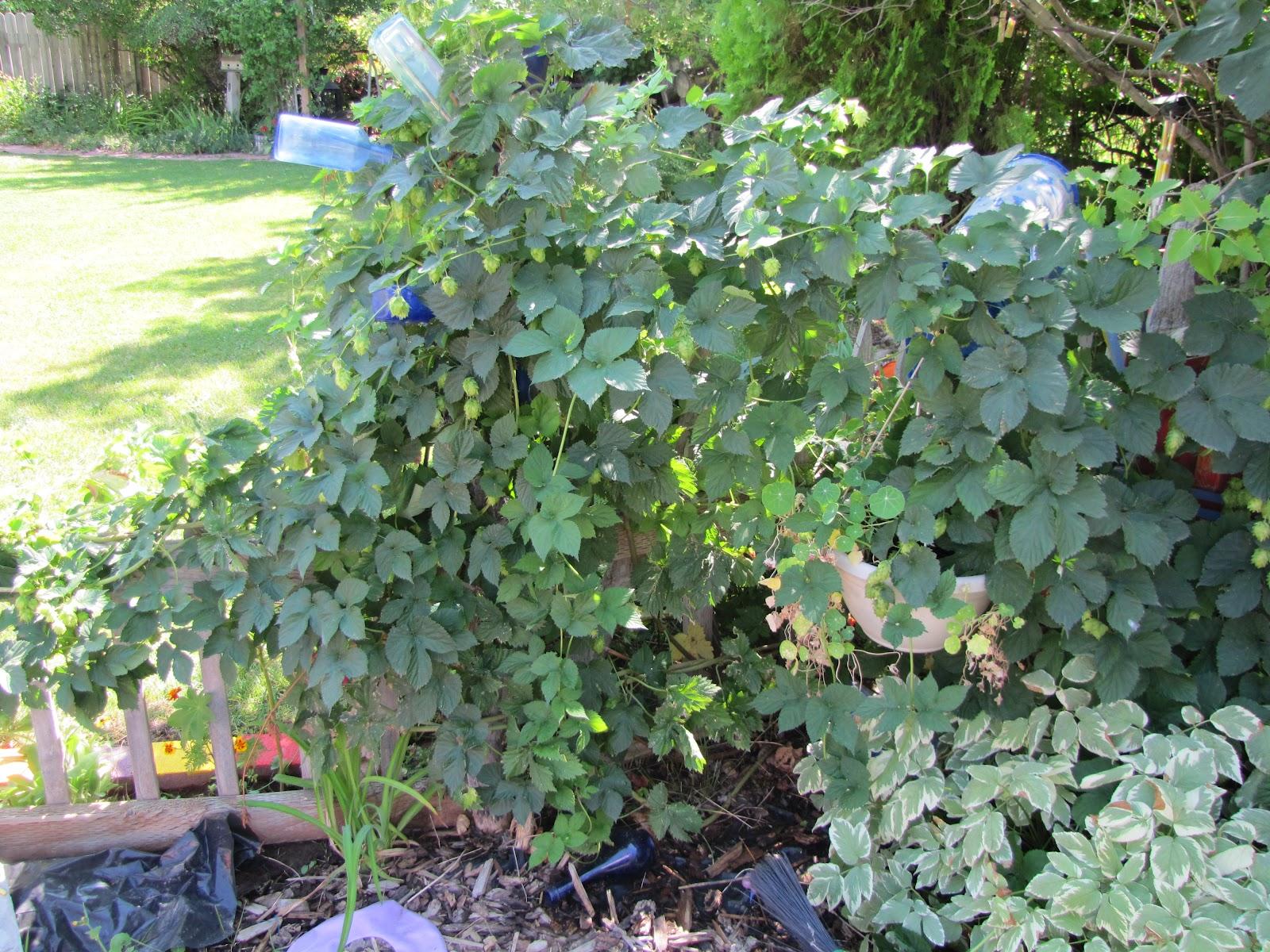 Buckets of gardening ideas my hops vine for Hops garden designs