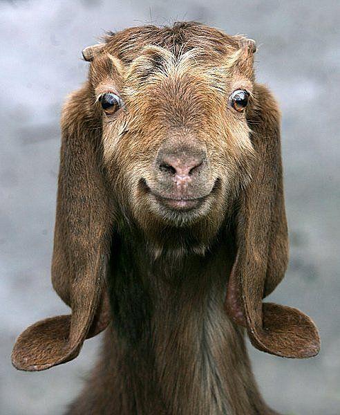 Llamas Making Funny Faces A veces veo muermos: M...