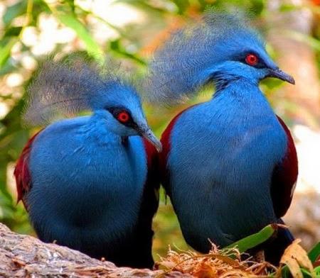 Mambruk, Jenis Burung Dara Terindah Didunia