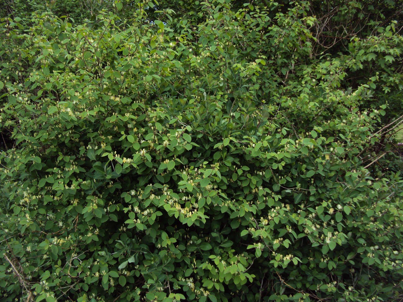 gedeblad busk