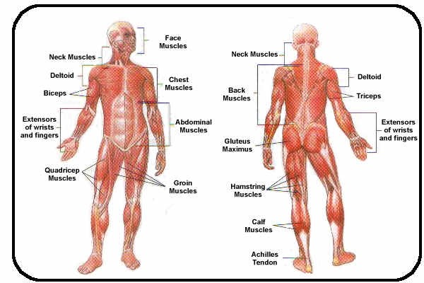 The muscular system diagram