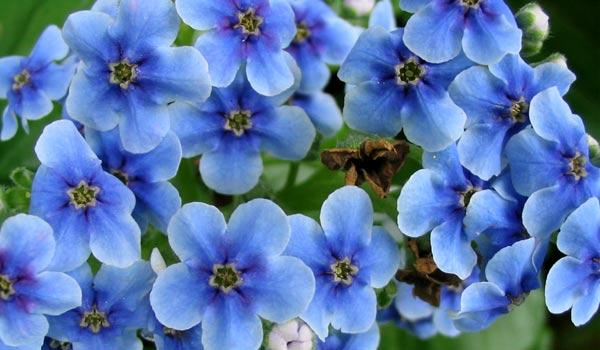 bunga akasia bunga ini mempunyai arti cinta yang terpendam cinta