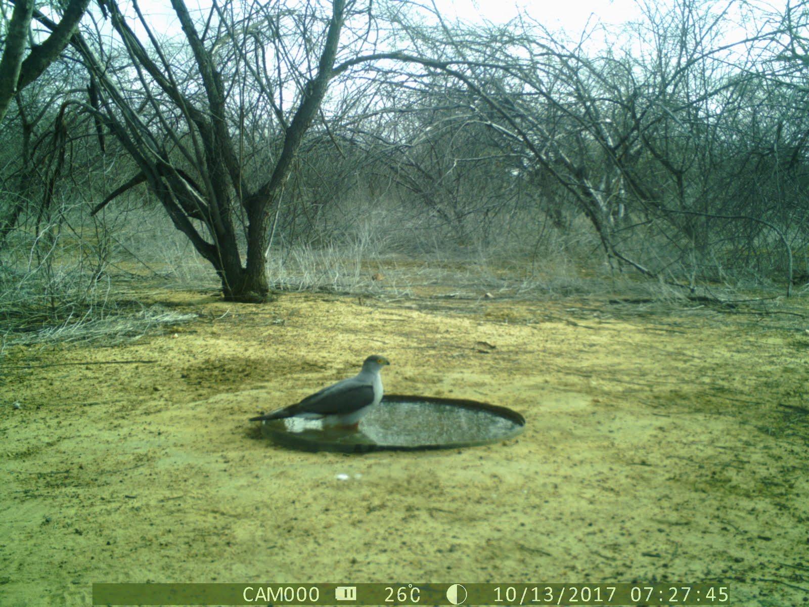 Uma gavião tomando banho