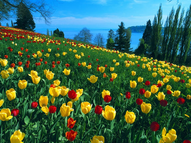 fieldoftulipsislandofmasn0.jpg (1024×768)