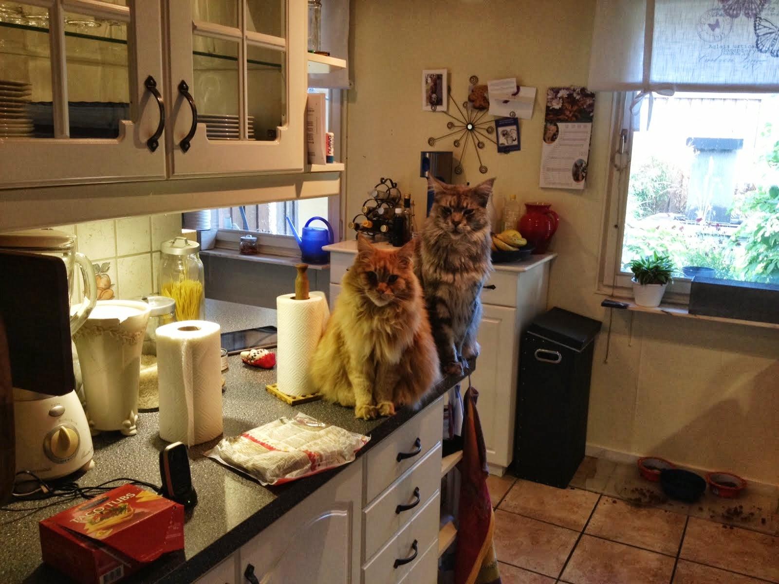 Zammy och Mille tigger mat på köksbänken
