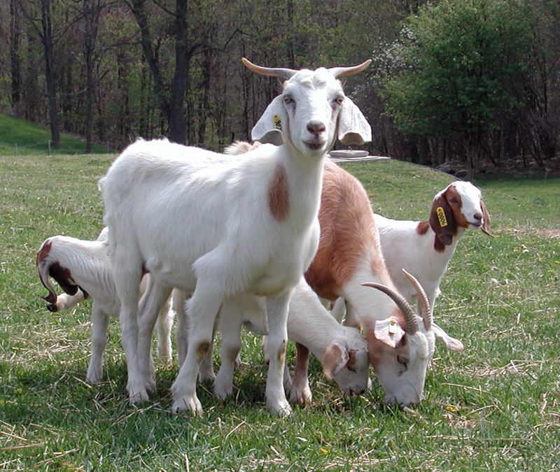 Goats Y Goat | Animal Wildlife