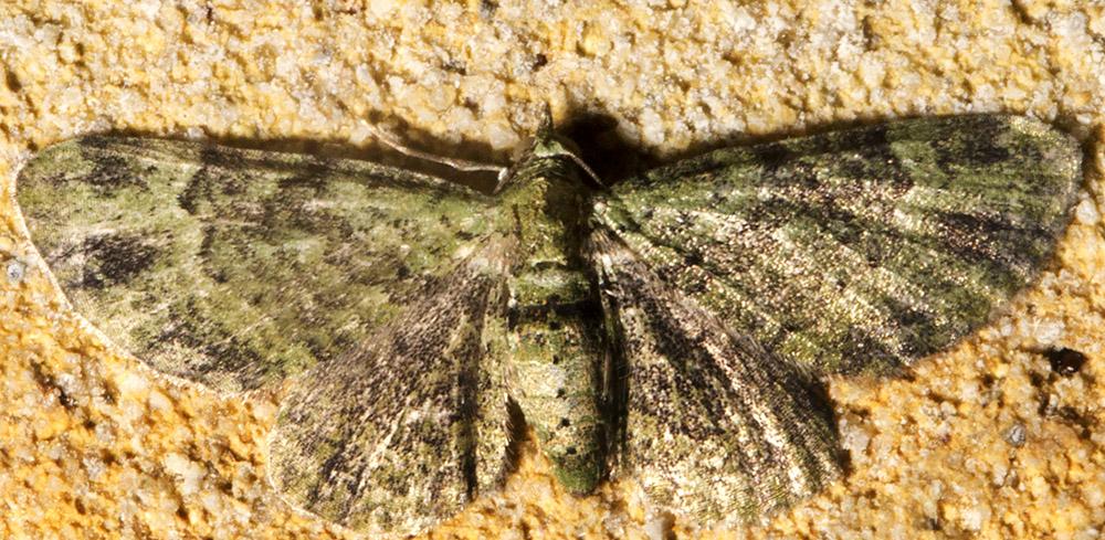 Green Pug, Pasiphila rectangulata.  Near my back garage door in Hayes on 17 June 2014.