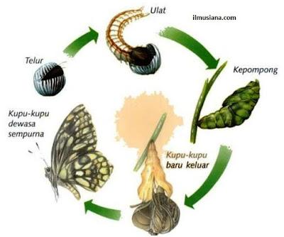 Metamorfosis pada Serangga Kupu-kupu