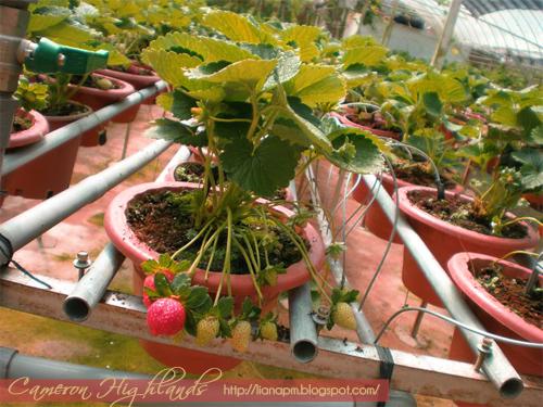 Strawberry Cameron Highlands, Tempat menarik di Cameron Highlands, Aktiviti yang boleh dibuat di Cameron Highlands, Pemandangan di Cameron Highlands, Poskad Tempat Menarik Di Malaysia, Poskad Cameron Highlands