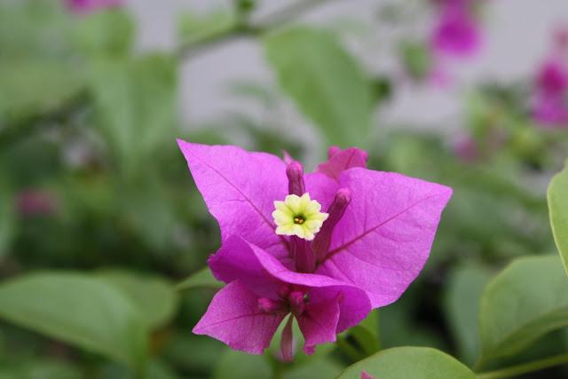 Cabaran 30 Hari - Hari Ke29 | Bunga Kegemaran dan Ertinya