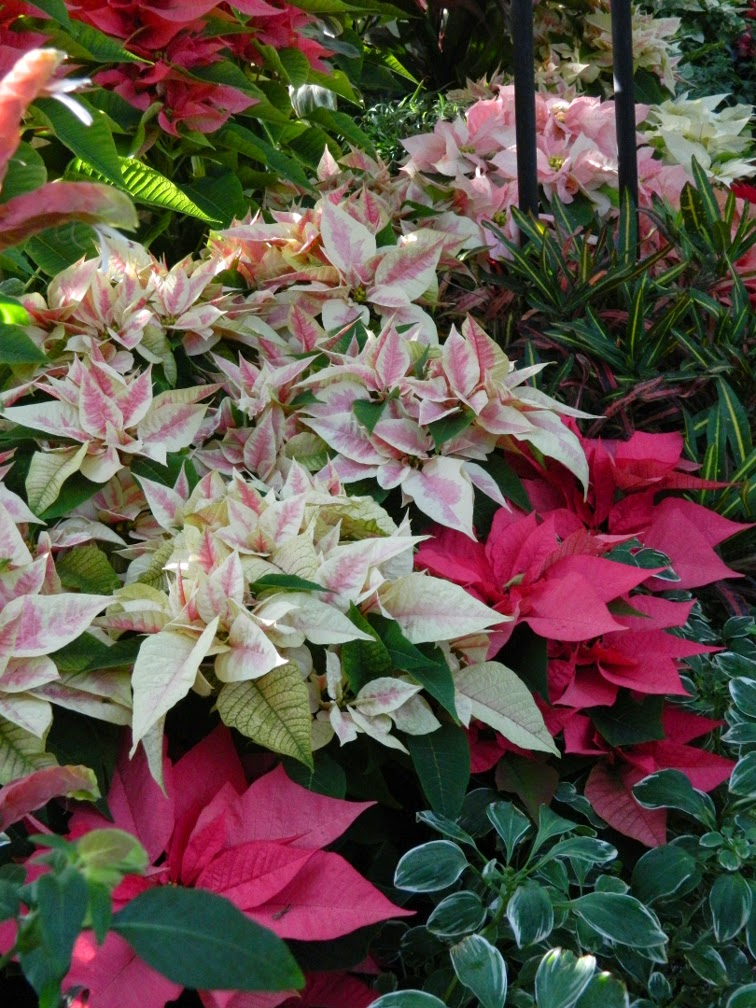 Pink variegated poinsettias Allan Gardens Conservatory Christmas Flower Show 2014 by garden muses-not another Toronto gardening blog
