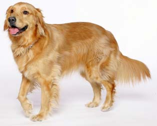 Top 10 Worlds Smartest Dog Breeds golden retriever