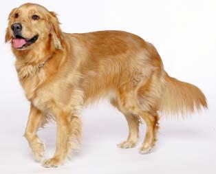 Top 10 Worlds Smartest Dog Breeds golden retriever