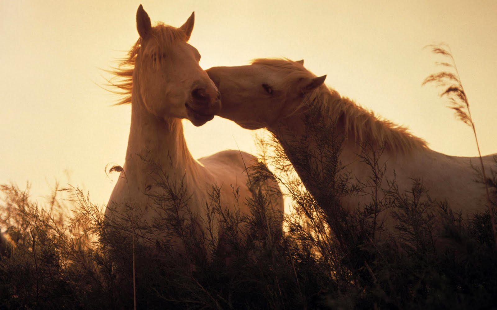 http://2.bp.blogspot.com/-0n3hZ0IOX8Q/TeiOoaHA_FI/AAAAAAAAAiE/nKcrvedkr-g/s1600/horses-in-love-wallpaper-1920x1200-0914.jpg