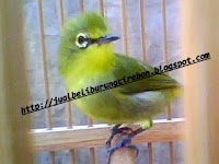 Jual Beli Burung Pleci Cirebon