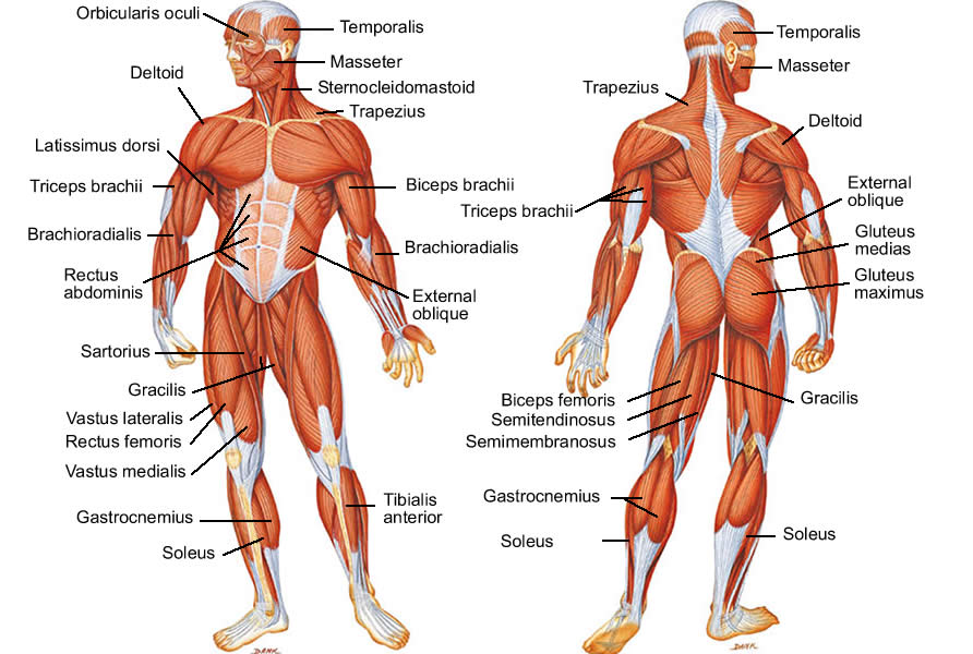 human body muscles names: human body muscle diagram detailed, Muscles