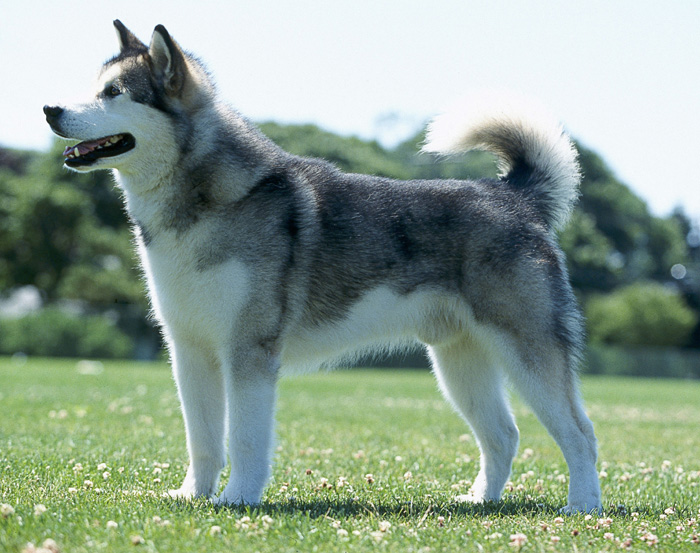 Alaskan Malamute   DOG LOVERS COMMUNITY