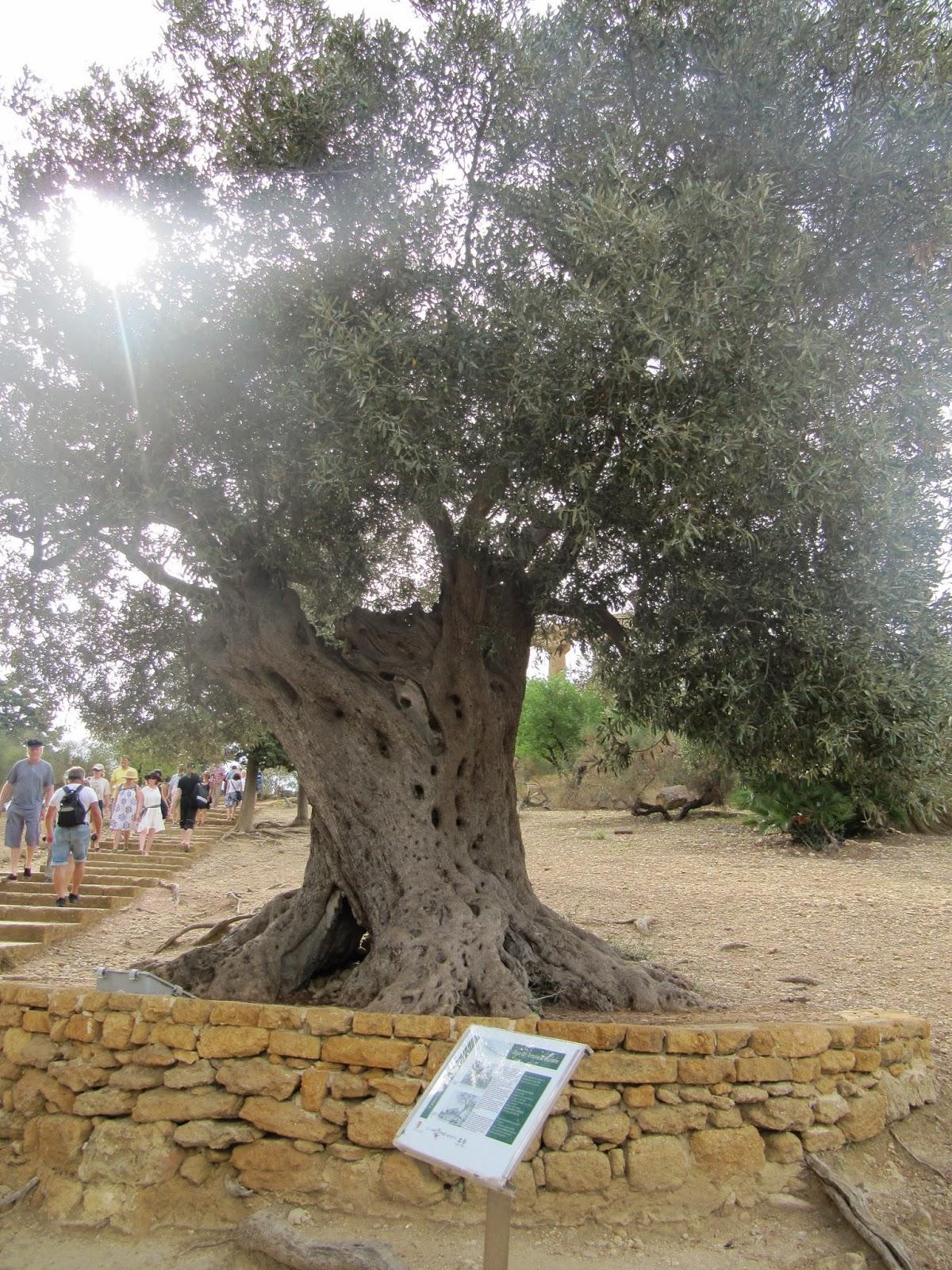 olivo del tempio di giunone