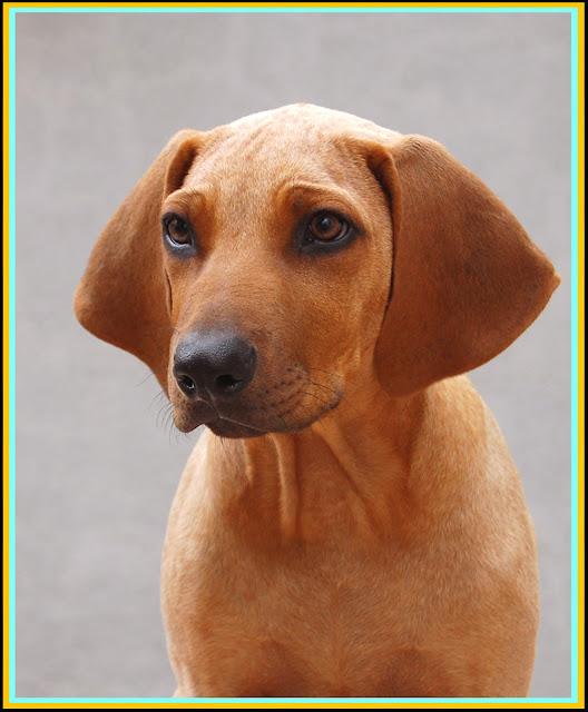Cachorro Rhodesian Ridgeback tres meses.