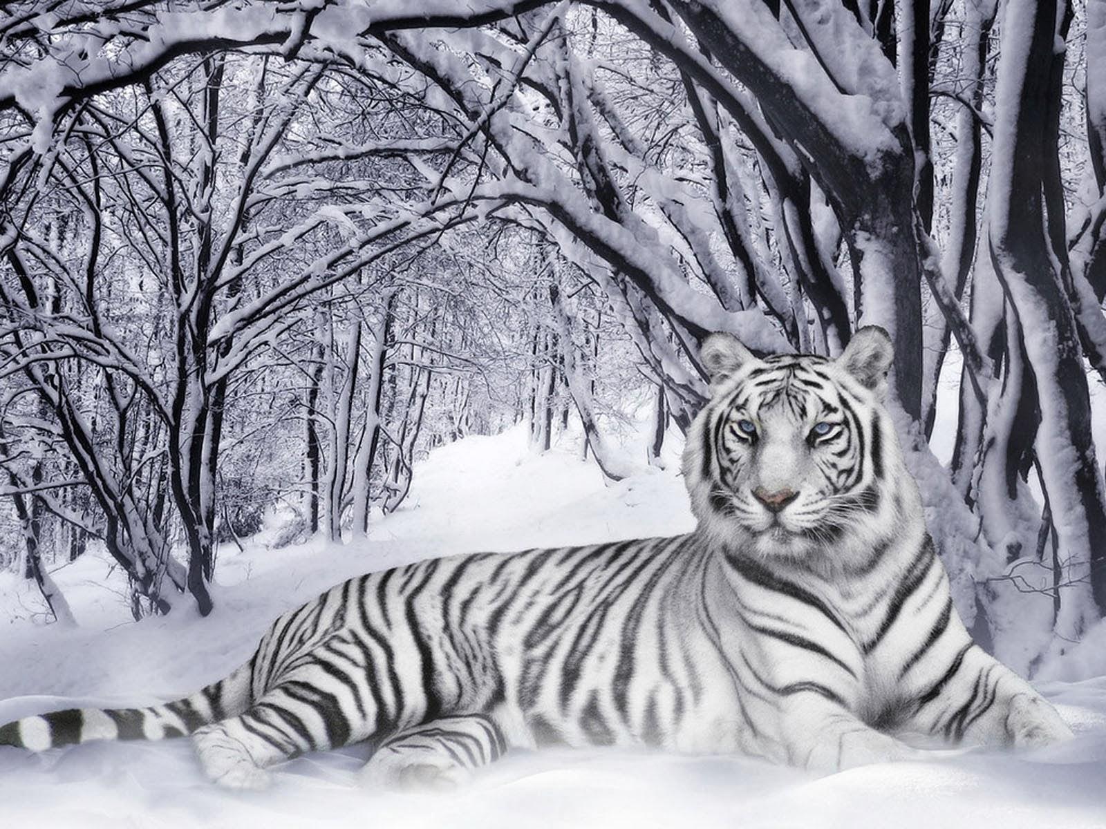 desktop 3d white tiger - photo #22