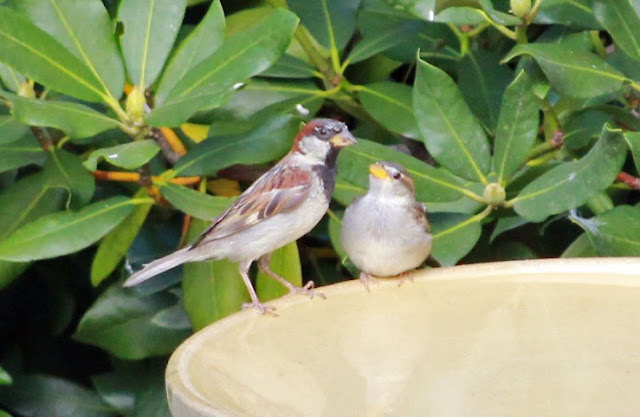 house sparrows on bath looking satisfied