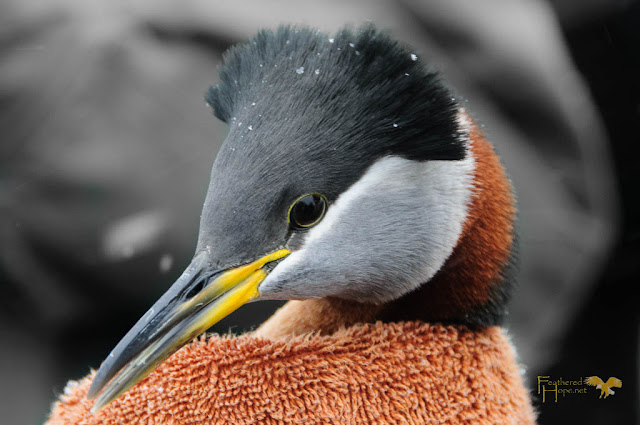 A beautiful Red-necked Grebe rehabilitated by Raptor Education Group, Inc. Photo by Feathered Hope.