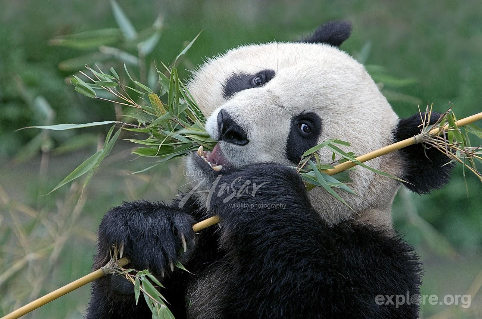 Isysgroup chengdu panda base