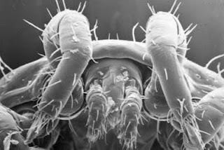 الكائن الغريب ينام ليلة وأنت dust-mite-body-hair.