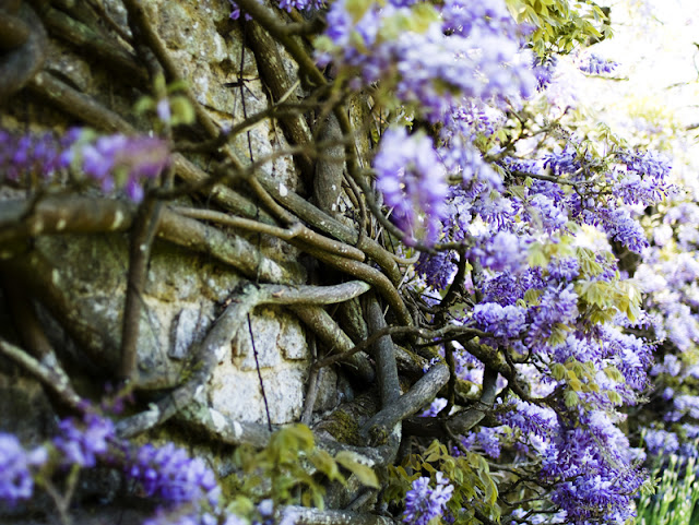 wisteria at Loseley Park, Guildford, Surrey