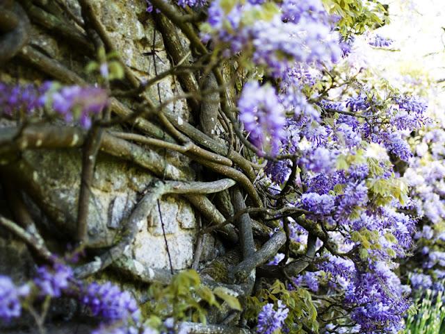 wisteria at Loseley Park, Guildford, Surrey