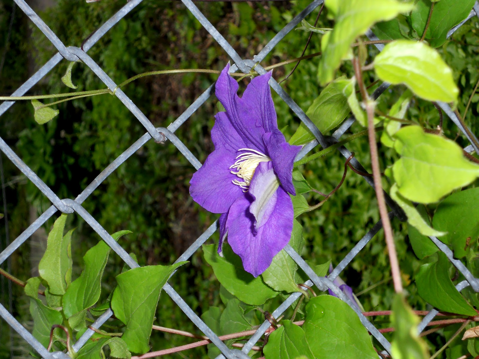 Climbing plants for a pergola fence or arbor for Climbing flowering plants for fences