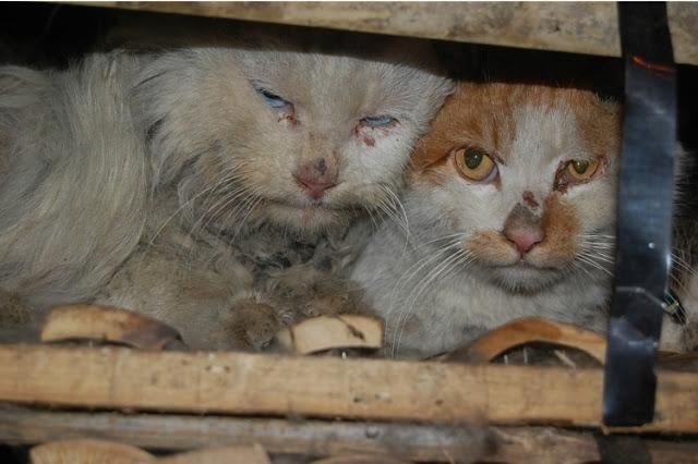 Rescatados 1000 gatos destinados a consumo humano