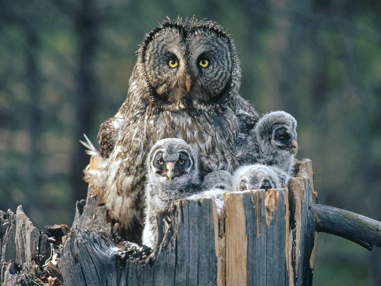 Flying Animal: The Great Grey Owl