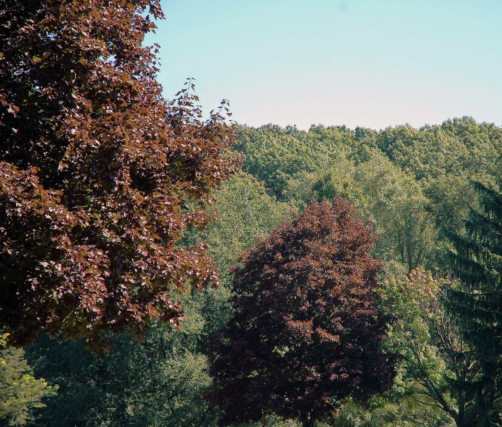 Field biology in southeastern ohio maples of ohio for Small tree varieties