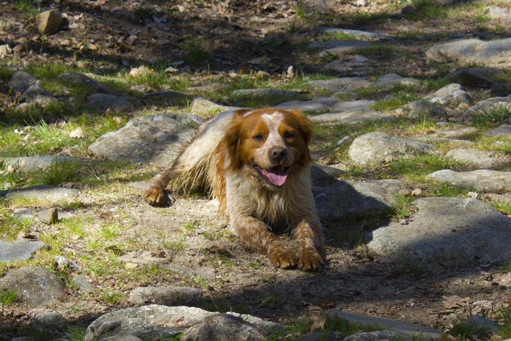 Corsica Dog Breed