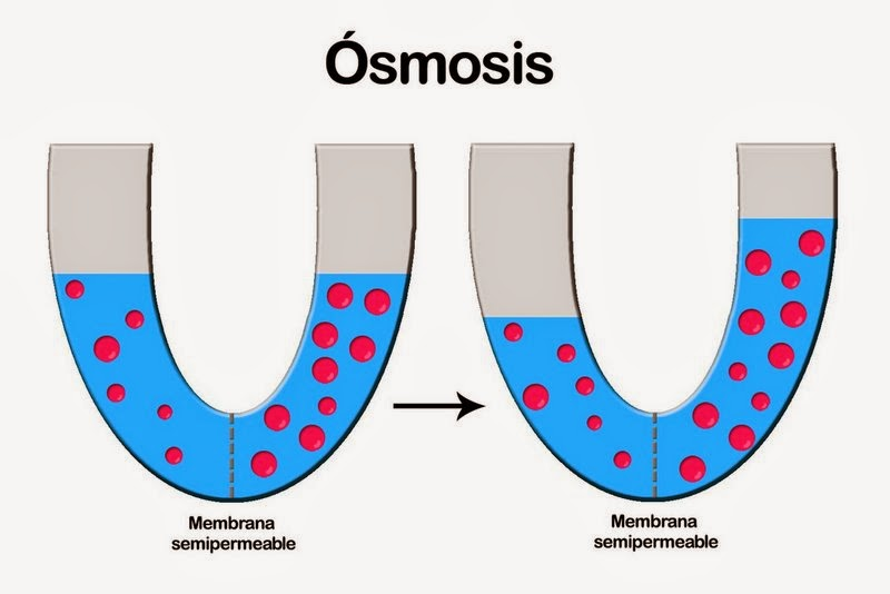 osmosis effect on rbcs Start studying osmosis n tonicity - tonicity has to do with the effect different the cell will loose water via osmosis n shrivel - shrinking of rbcs.