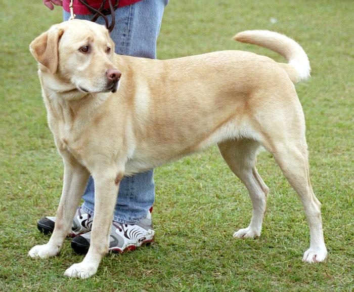 Labrador Retrievers Fun Animals Wiki Videos Pictures