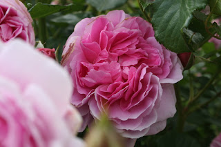 maid marion shrub rose