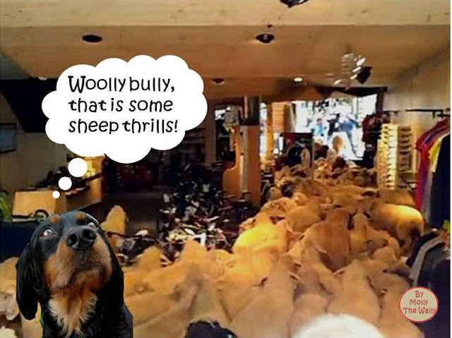 Rampaging sheep in St Anton. yikes says Molly The Wally!