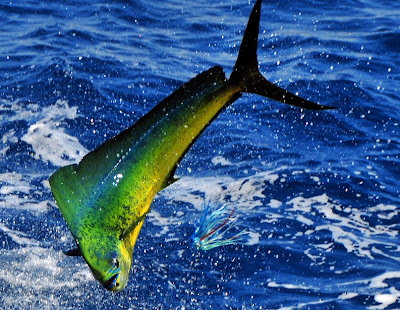 Mahi-Mahi | Cool fish wallpapers