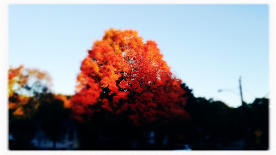The proud red maples / their faces first to redden / as they take their leave. // micropoetry - haikumages - haiku