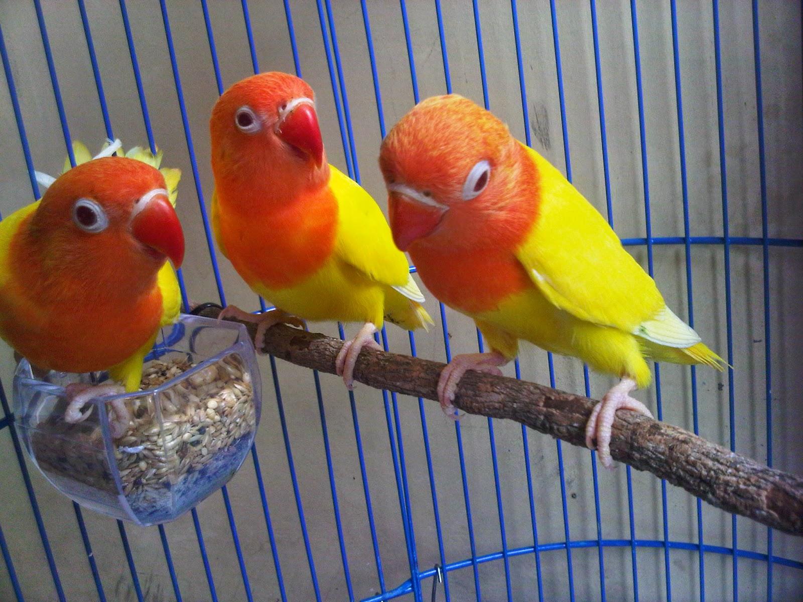 daftar harga burung lovebird terbaru 2017 daftar harga